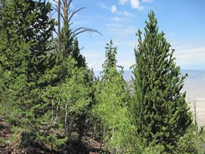 Great Basin bristlecone pine growing with aspen in San Francisco Mountain, Utah