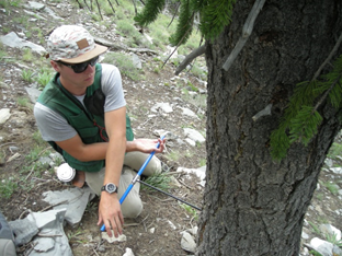Coring a bristlecone pine to determine its age.
