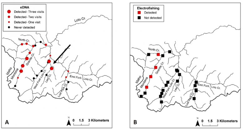 A comparison of eDNA detection of bull trout in the headwaters of Lolo Creek, Montana and previous electofishing. The arrow points to a small putative population that was previously undetected.