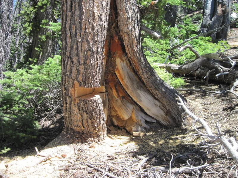 3.	A partial cross-section was taken from this fire-scarred Great Basin bristlecone pine located on the Markagunt Plateau, Dixie National Forest. The position of the injuries in the annual growth rings allows dating of each fire with annual accuracy.