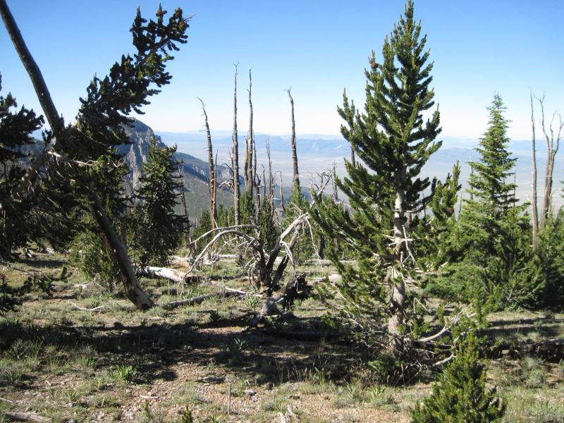 Great Basin bristlecone pine recovery can be slow after stand replacing fire. This site, which burned 100 years prior to this picture, is near tree-line in Great Basin National Park (Snake Range), Nevada.