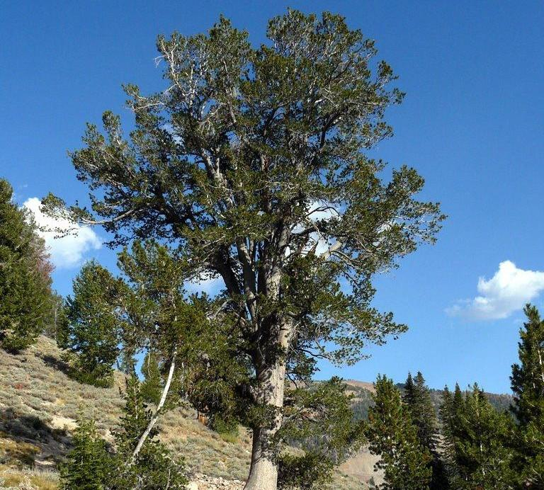 A whitebark pine forest stands on a sloping landscape.