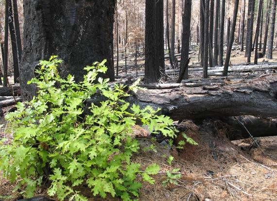 California black oak resprouting after wildfire. The FEIS Species Review describes several causes for the decline of this species, including lack of fire. (Photo by Ilana Abrahamson)