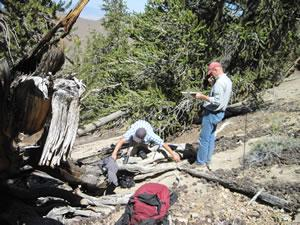 Crew taking fuels data in a White Mountains, CA, stand