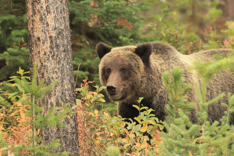 Grizzly bear on the Bridger-Teton National Forest. Photo: U.S. Forest Service.