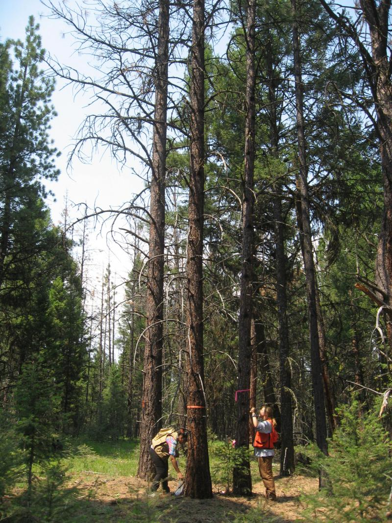 Measuring trees killed by mountain pine beetle in the experimental study project area.