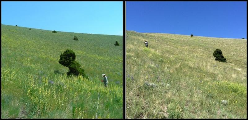 Left: Dalmatian toadflax biocontrol site before treatment in 2013. Right: after treatment in 2016.