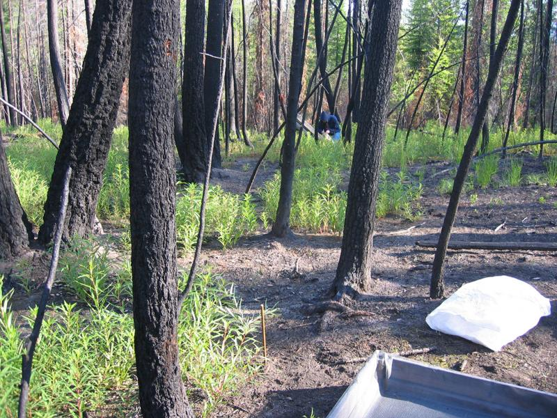 Image: Litter traps were installed at this site after stand-replacing fires to measure fuel characteristics
