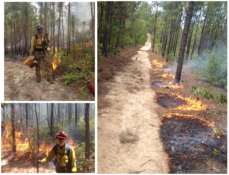 Photos, clockwise from upper left: Dan Jimenez assists with a prescribed burn in Georgia pine forests, a prescribed fire is lit from the road in the burn unit, and Elliot Conrad also assists with the burns (photos courtesy of Matt Jolly).