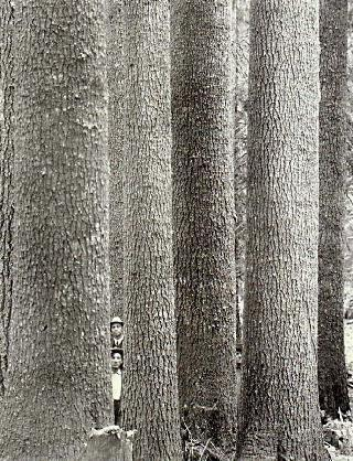 Old photograph of mature western white pine