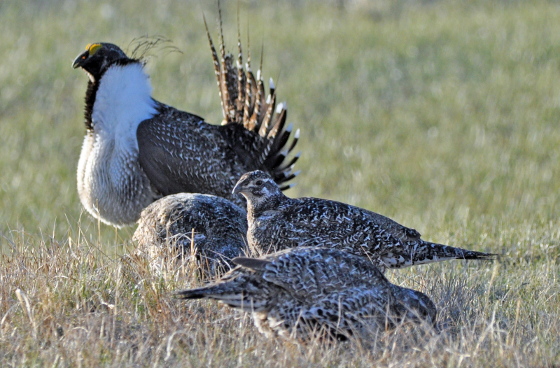 A photo of four greater sage-grouses in a field. The imperiled sagebrush biome is inexorably linked with the Greater sage-grouse, which relies on sagebrush for every stage of its life history. (Photo: Jeannie Stafford, USFWS)