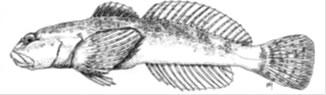 Drawing of Cedar sculpin (Cottus schitsuumsh), a newly discovered species