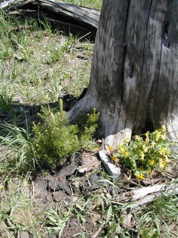 Whitebark pine seedling cluster. Photo courtesy of Anna Schoettle / U.S. Forest Service.