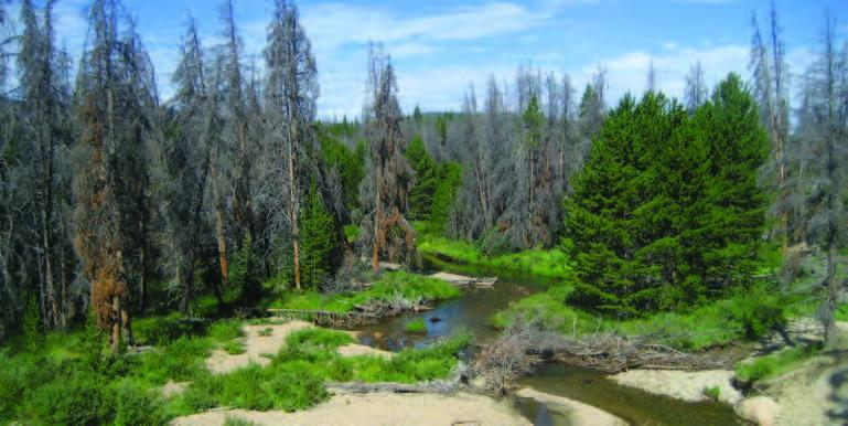 The loss of mature pine trees to mountain pine beetles in sensitive watersheds raised fears that influxes of nutrients and sediment might threaten key sources of drinking water. (Photo by Karl Malcolm)