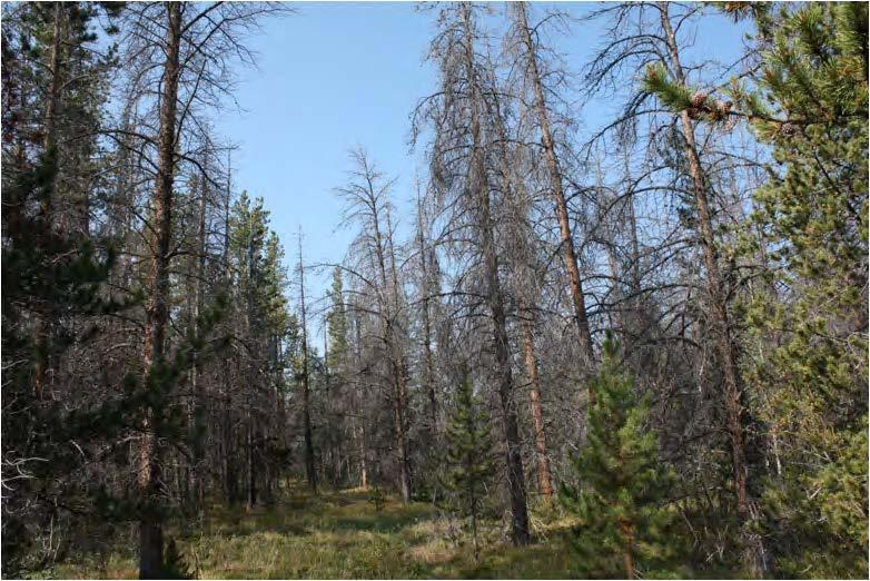 In the Fraser Experimental Forest in Colorado, beetle infestation resulted in 50-90% mortality of canopy trees. (Photo by Tony Cheng)