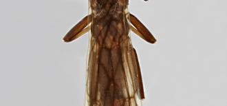 Magnified image of an arapahoe snowfly, about 1 mm wide, brown in color with translucent wings.