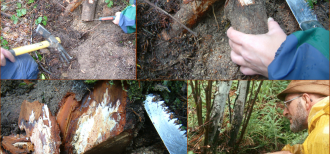 Root sampling of tree colonized by Armillaria spp.