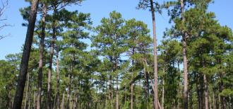 An open southern pine forest with large trees and a low herbaceous grassland layer