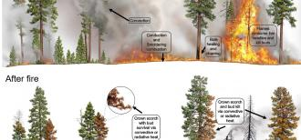 Infographic showing coniferous trees during a fire with text describing types of injuries and coniferous trees after fire and what those injuries look like.