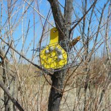 The photo shows a plastic, yellow cattle ear tag with a wire cage around it hanging from a tree. There are five round objects inside the cage that are the lure.