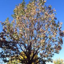 A northern red oak showing symptoms of drippy blight disease.
