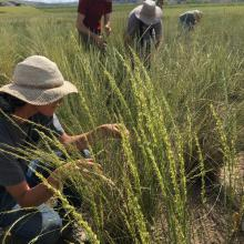RMRS and PNW field crews training on data collection at bluebunch wheatgrass experimental plot at Central Ferry, WA (Photo by: Holly Prendeville, PNW Research Station)