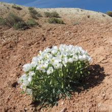 Dwarf bear-poppy in flower at the Beehive Dome population. All known dwarf bear-poppy occurrences lie within 20 km of a rapidly expanding metropolitan area, St. George UT, at the northeastern edge of the Mojave Desert.