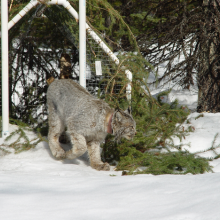 Canada lynx leaving a box trap after capture on the Rio Grande National Forest, Colorado, 2015.