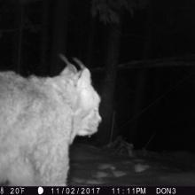 A suspected lynx has triggered this photo from a game camera in Montana (photo credit: Don Heffington).