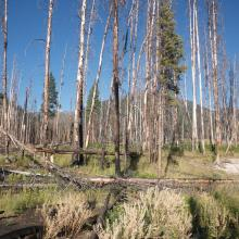 One year after the 2011 Hammer Creek fire in the Bob Marshall Wilderness, part of the Crown of the Continent Ecosystem in Montana. Photo by Sean Parks
