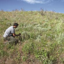 Vegetative recovery five years after a fire in a mountain big sagebrush community. Plant density is sufficient for full sagebrush recovery in 25–35 years after the fire.  Photo by Stanley G. Kitchen, USDA FS