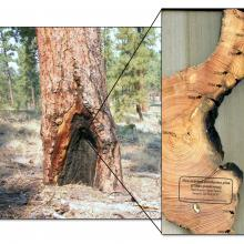 Fire-scarred ponderosa pine tree. Presence of fire-scarred trees within a treatment unit indicates historical surface fire with low-severity fire effects. Photo: Peter Brown, Rocky Mountain Tree Ring Research.