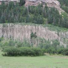 Aspen stands affected by drought in southern Colorado. Photo by J.D. Shaw.