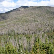 Extensive mortality in an area dominated by lodgepole pine.  Note lower mortality of younger cohorts, and that very little of the area experienced 100% mortality, even at small scale (<1 acre). Photo by J.D. Shaw.