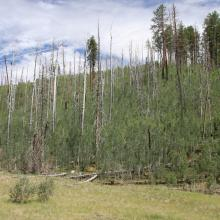 Forest type conversion from lodgepole pine to aspen following fire. Photo by J.D. Shaw.