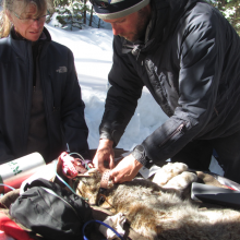 Fitting a GPS collar to a Canada lynx on the Rio Grande National Forest, Colorado, 2015.