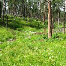 Permanent study plot in 2009 two years following timber harvest.