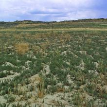 Annual invasive species, saltlover (Halogeton glomeratatus), established on disturbed sites in Wyoming. Photo by Kenneth F. Henke.
