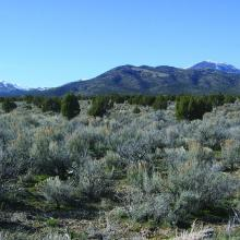 Expansion of Utah juniper trees into a mountain big sagebrush ecosystem in east central Utah. Photo by Bruce A. Roundy.
