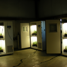 Toadflax genotypes in plant growth chambers supplying different concentrations of carbon dioxide (photo by S.E. Sing).