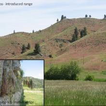 Cheatgrass growing from ancient ruins in its native range and taking over grasslands in Montana (the redish color throughout the background photo)