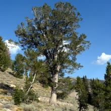 It is common to find mature whitebark pine trees well over 400 years of age as seen in this image, especially on harsh growing sites. Photo by Robert E. Keane.