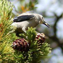 A Clark's nutcracker harvesting seed from whitebark pine cones. Photo courtesy of Diana Tomback