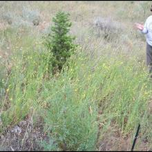 Sharlene Sing standing to the right of a hybrid toadflax patch in the Beaverhead-Deerlodge National Forest.