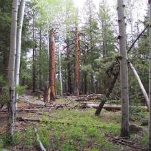 Large ponderosa pine snags in mixed-conifer forest, northern Arizona