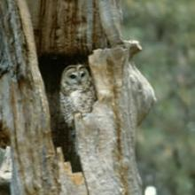A Mexican spotted owl nesting in a broken-topped ponderosa pine snag, Arizona