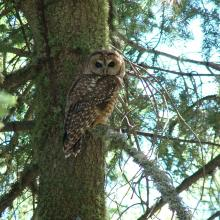 Mexican spotted owl perched in a white fir tree, Pinaleño Mountains, Arizona (Photo by Craig Wilcox, Coronado National Forest).