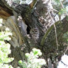 A Mexican spotted owl peers from a cavity nest in a large tree, Pinaleño Mountains, Arizona (Photo by James P. Ward, Jr.).