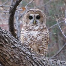 A Mexican spotted owl perched in a Gambel oak tree, Oak Creek Canyon, Arizona. (Photo by Shaula Hedwall).