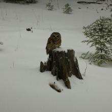 A Mexican spotted owl hunting from a snow-covered stump, Sacramento Mountains, New Mexico (Photo by Todd Rawlinson).